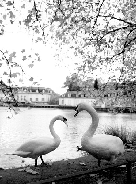 Swans of Benrath
