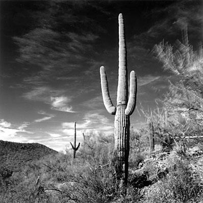 Saguaro against the Wind