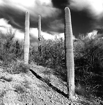 Saguaro Columns