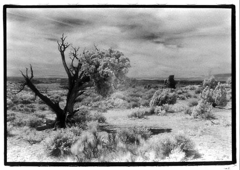 Utah Half Live Tree
